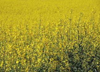 Chwasty dwuliścienne w kukurydzy